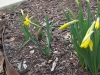trail-tulips.jpg